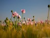 opium_poppy17